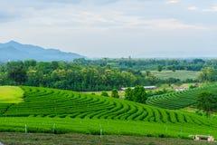 Tea farm Road blue sky. At thailand Royalty Free Stock Photos
