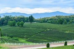 Tea farm Road blue sky. At thailand Royalty Free Stock Photo