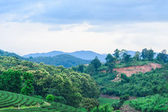 Tea farm Road blue sky. At thailand Stock Photo