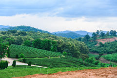 Tea farm Road blue sky. At thailand Royalty Free Stock Images
