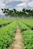 Tea farm road toward areca Royalty Free Stock Photo