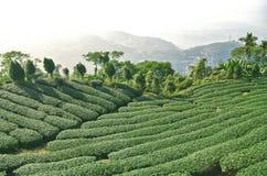 Tea farm. In Taiwan, East Asia Stock Image