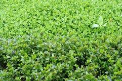 Tea farm, tea leaves close up Royalty Free Stock Photo