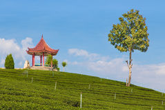 Tea farm. In Thailand,Chiang Mai Royalty Free Stock Images