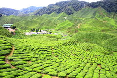 Tea Farm Valley in Cameron Highlands Royalty Free Stock Photos