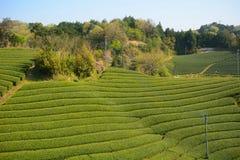 Tea farm, Wazuka, Japan. Tea farm in Wazuka, Japan Stock Images