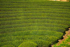 Tea farm, Wazuka, Japan. Tea farm in Wazuka, Japan Stock Image