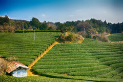 Tea farm, Wazuka, Japan. Tea farm in Wazuka, Japan Royalty Free Stock Images