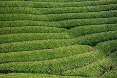 Tea farm, Wazuka, Japan. Tea farm in Wazuka, Japan Stock Photos
