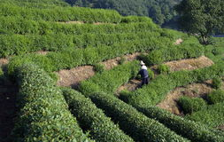 Tea farmer  in LongJing Royalty Free Stock Image