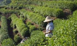 Tea Farmer Royalty Free Stock Image