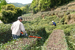 Tea farmers tea tree pruning Stock Images