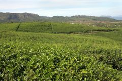 Tea farming Stock Photo