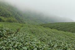 Tea farms on Ali mountain in Taiwan. Spectacular tea farms at Xiding in Chiyi county , Taiwan (ROC Stock Image