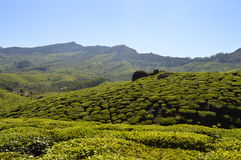 Tea farms Stock Photography