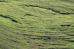 Tea field 02 Royalty Free Stock Image