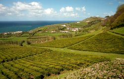 Tea field. At sao miguel island, in azores Stock Photo