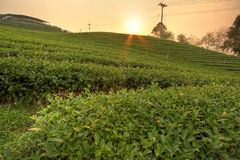 Tea field. Plantation of tea on mountain Royalty Free Stock Photography