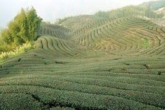 Tea field Stock Photo