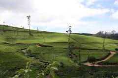 Tea field Stock Photos