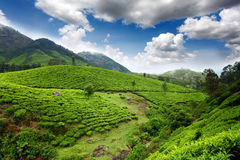 Tea field Stock Images