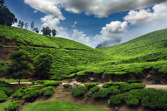 Tea field Stock Photo
