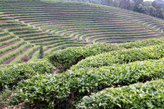 Tea Field. Shot in Yunnan of China Royalty Free Stock Photos
