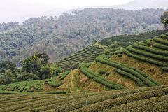 Tea field Royalty Free Stock Image