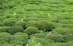 Tea Field Royalty Free Stock Images