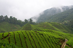 Tea field Royalty Free Stock Photo