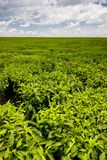 Tea field Royalty Free Stock Photos