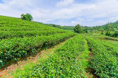 Tea field and blue sky, Bao Loc, Center Highland of Vietnam Royalty Free Stock Image