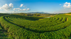 Tea field curve Royalty Free Stock Images