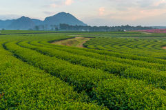 Tea field curve pattern Stock Images