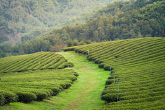 Tea field. Grass road in tea field Thailand royalty free stock images