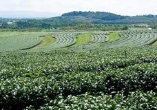 Tea field Stock Image