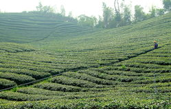 Tea field royalty free stock photos