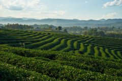 Tea field on hill Royalty Free Stock Images