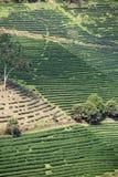 Tea field on hill Stock Photo