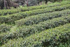 Tea field in Japan Royalty Free Stock Photography