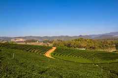 Tea field landscape view. In the morning at Thailand stock photography