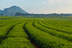 Tea field in the morning Royalty Free Stock Images