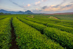 Tea field in the morning Royalty Free Stock Photography