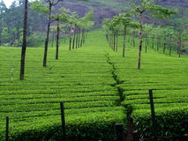 Tea field in munnar kerala, India Royalty Free Stock Image