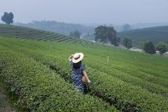 Tea field plantation landscape view stock image