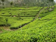 Tea field in Sri-Lanka Stock Image