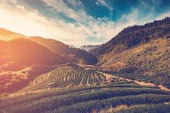 Tea field and sunrise vintage Royalty Free Stock Image