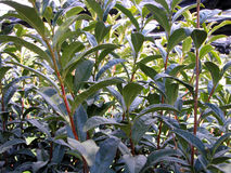 Tea field texture Royalty Free Stock Image