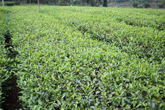 Tea field Royalty Free Stock Photography