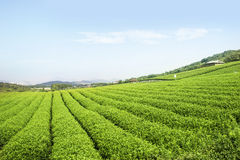 Tea field. A view of tea field along the mountain Royalty Free Stock Images